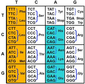 DNA to Amino Acid chart