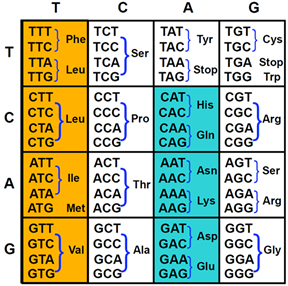 DNA to Amino Acid chart