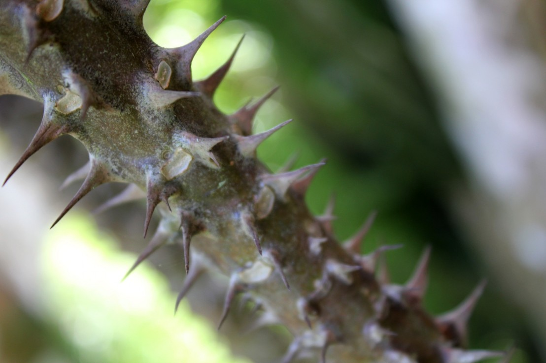 On the Origin of Thorns