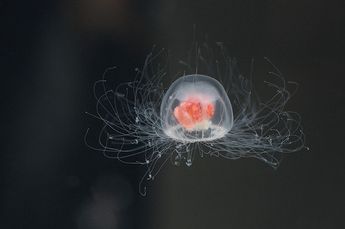 Jellyfish and Immortality: A FoolsQuest