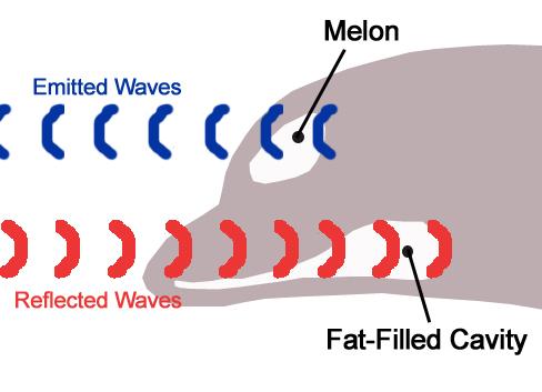 Dolphin_echolocation