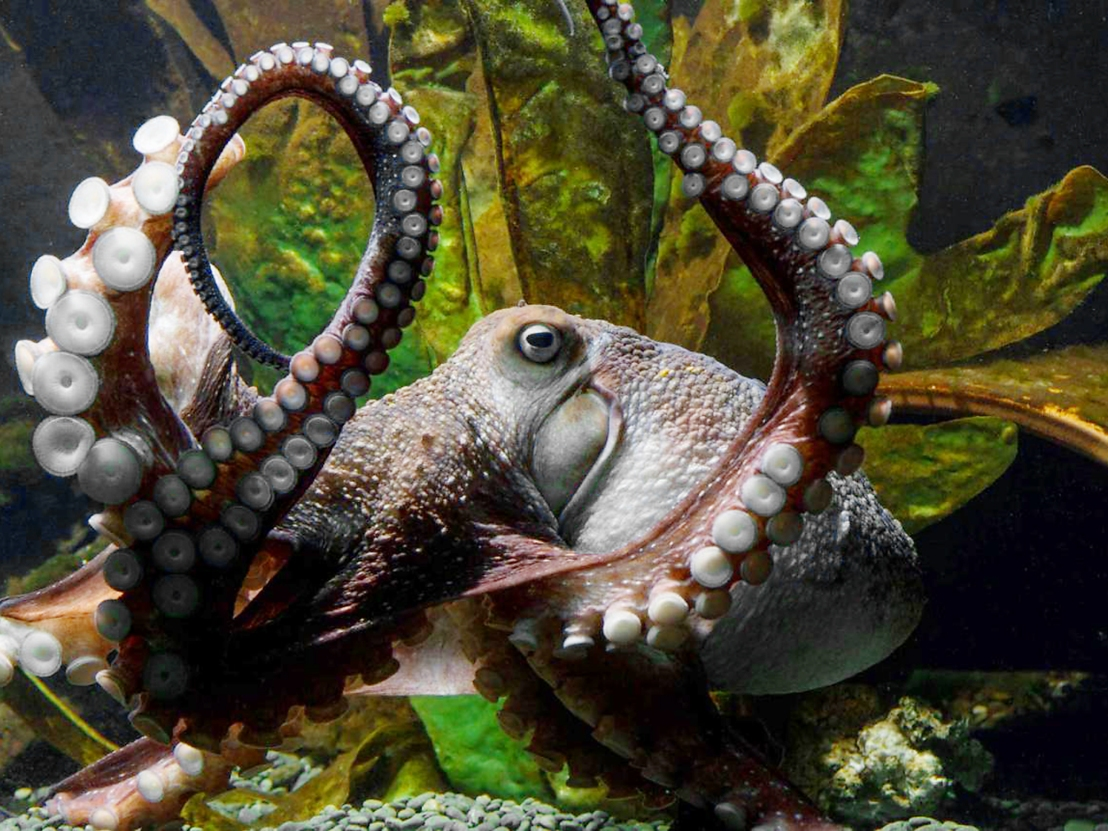 Conscious Octopuses?