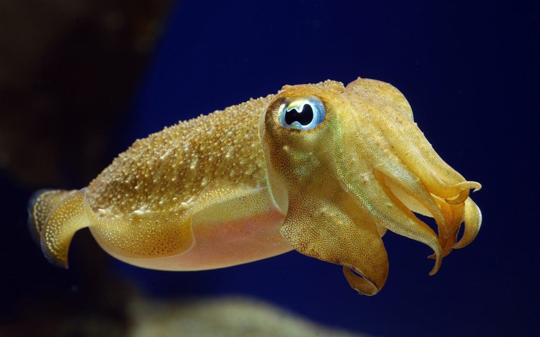 Cuttlefish: Masters of Disguise