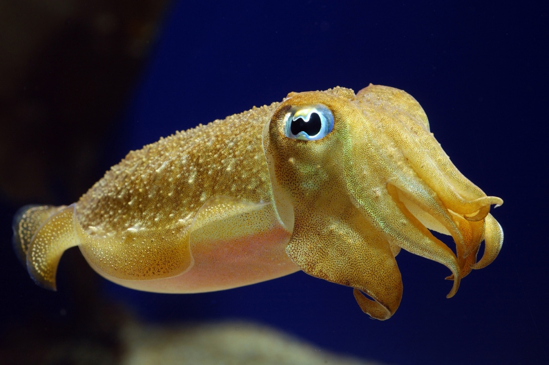 Cuttlefish: Masters ofDisguise