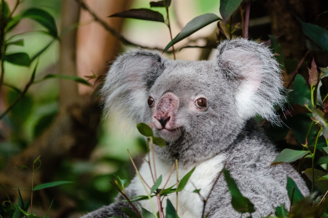 Koalas: A Different Kind of Bear