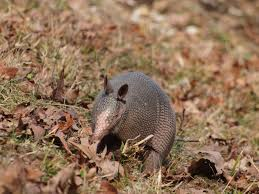 Armadillo: Armored Mammals
