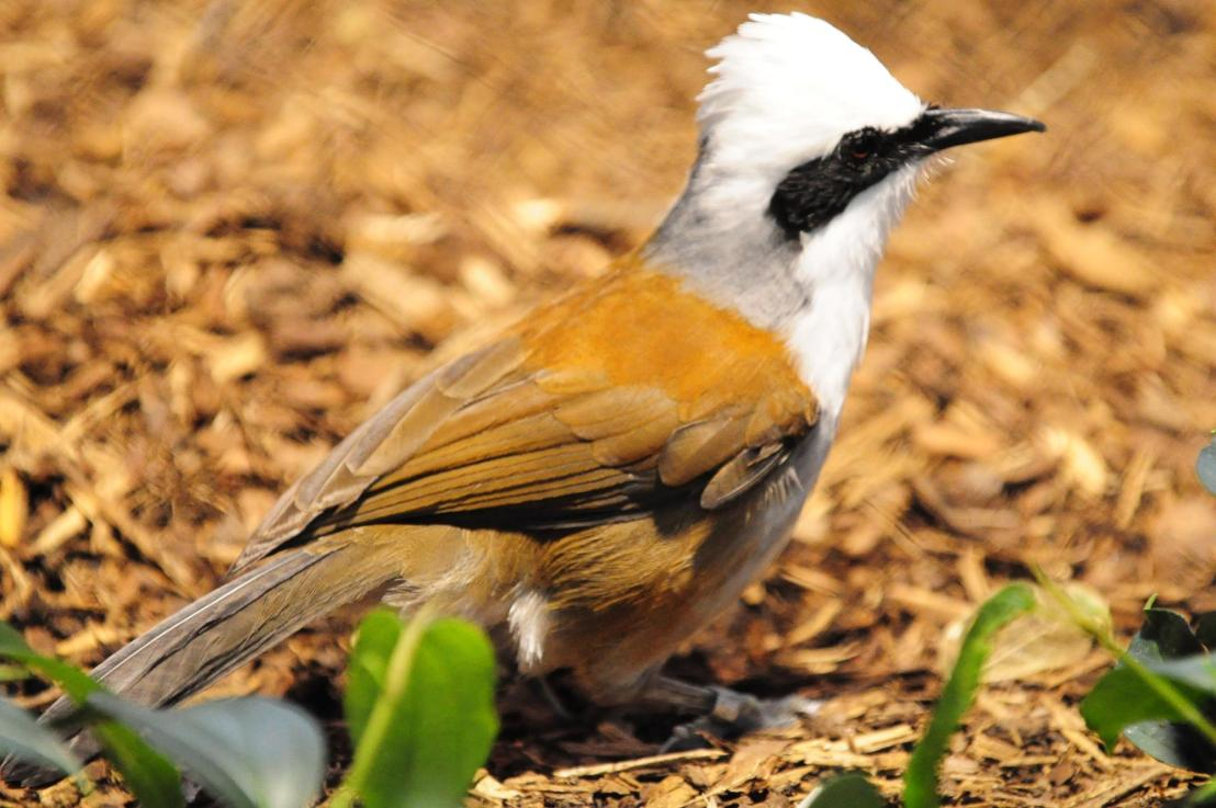White Crested LaughingThrush