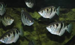 Archerfish:The First Trickshooter