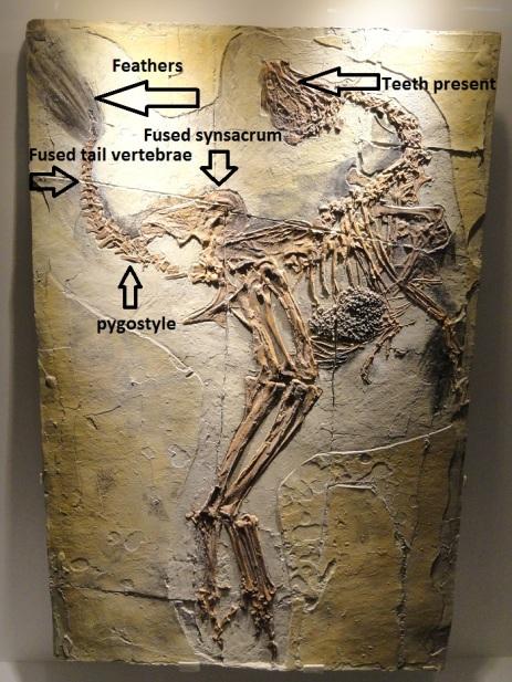 caudipteryx diagram.jpg