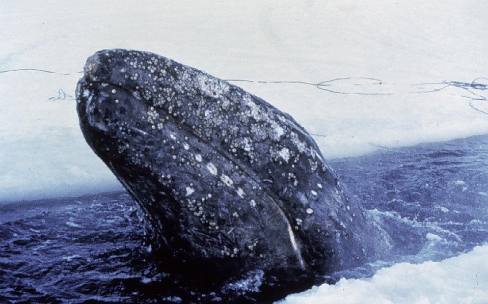 Vestigial Structure: WhaleLegs