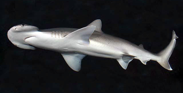 Vegetarian Shark