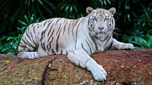 Tiger Speciation