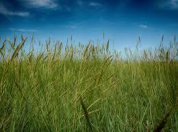 Grasses and Genetics