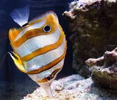 Baraminology of Butterflyfish