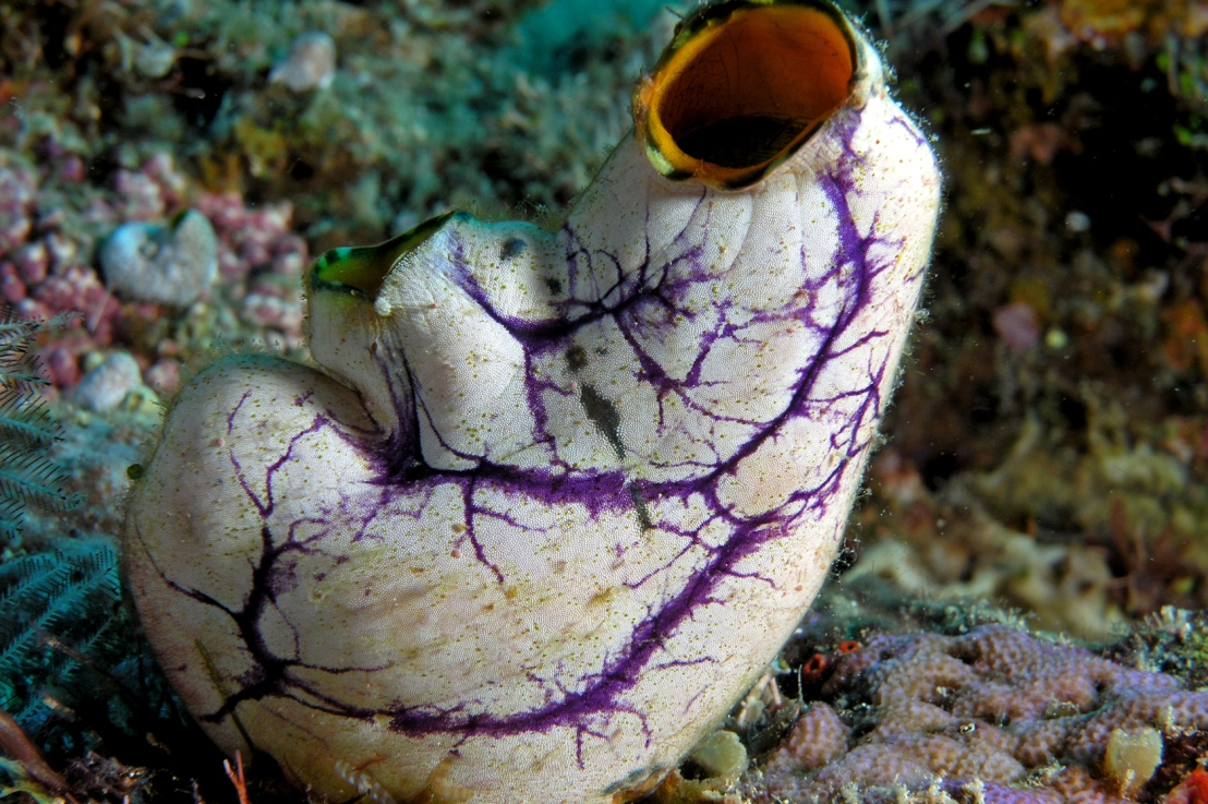 The Puzzle ofTunicates