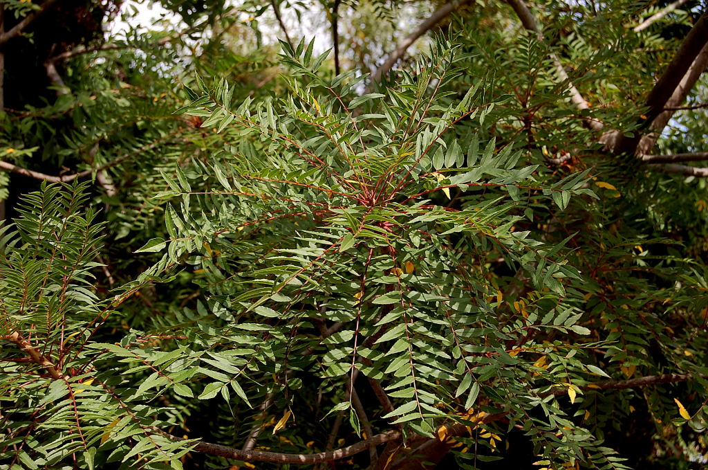 Baraminology of Kirkiaceae
