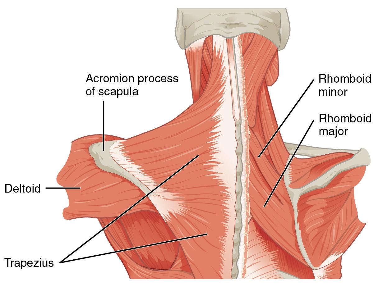 Vestigial Muscles – In His Image